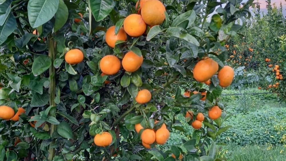 Apofruit: le strategie per le clementine