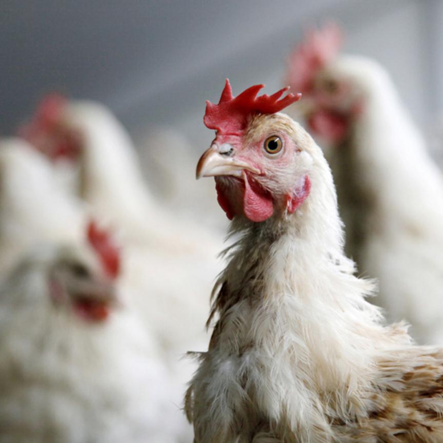 Coop rivoluziona 1.600 allevamenti animali e bandisce gli antibiotici dalla zootecnia