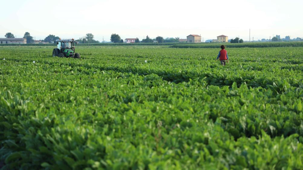 Dalla Regione Emilia Romagna 1,5 milioni per la bieticoltura