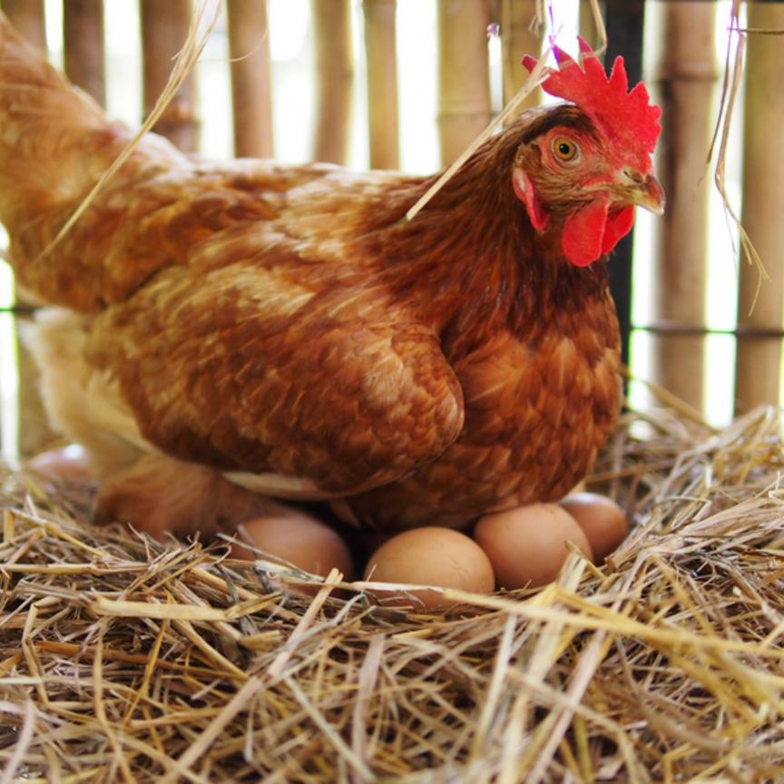 Pollo e uova da record, ma preoccupano i focolai Covid nei macelli esteri
