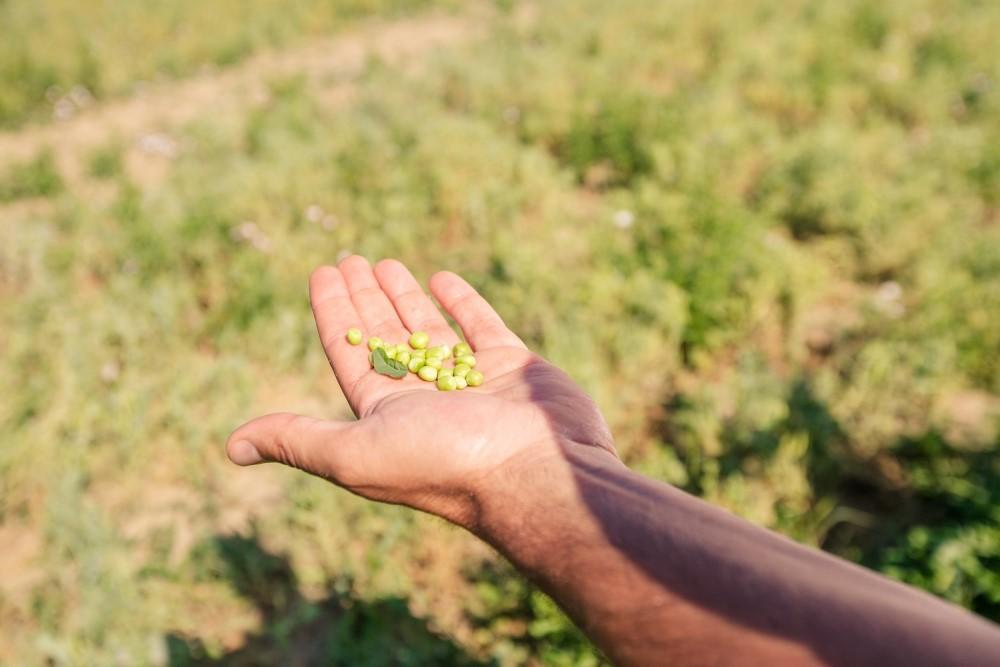 Andriani capofila della filiera di legumi sostenibile
