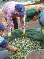 Olio di oliva: crescono i consumi nel mondo