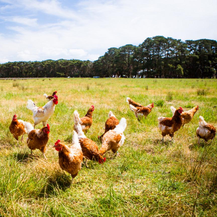 Fileni, 60 milioni di finanziamenti per il pollo bio