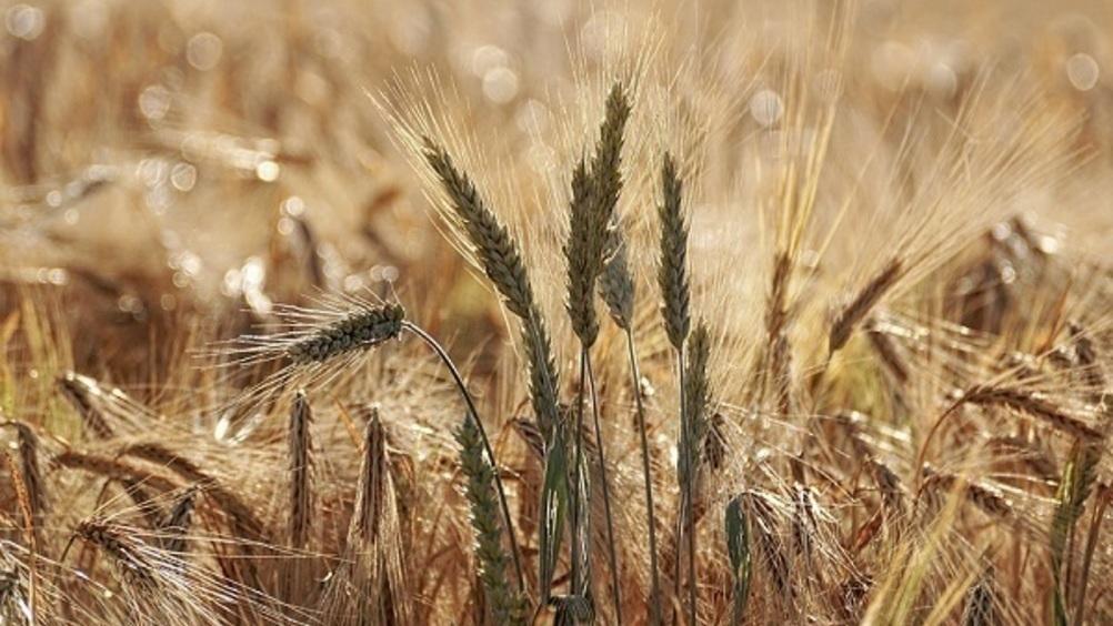 Italmopa: preoccupazione per un mercato frumento tenero in forte tensione