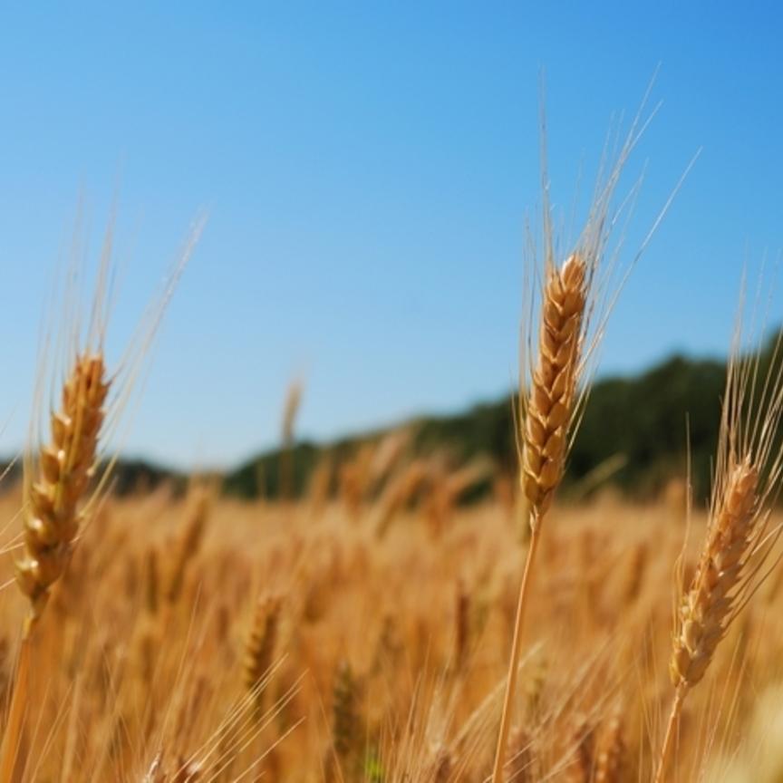 Maxiaccordo Coldiretti Casillo per il grano biologico