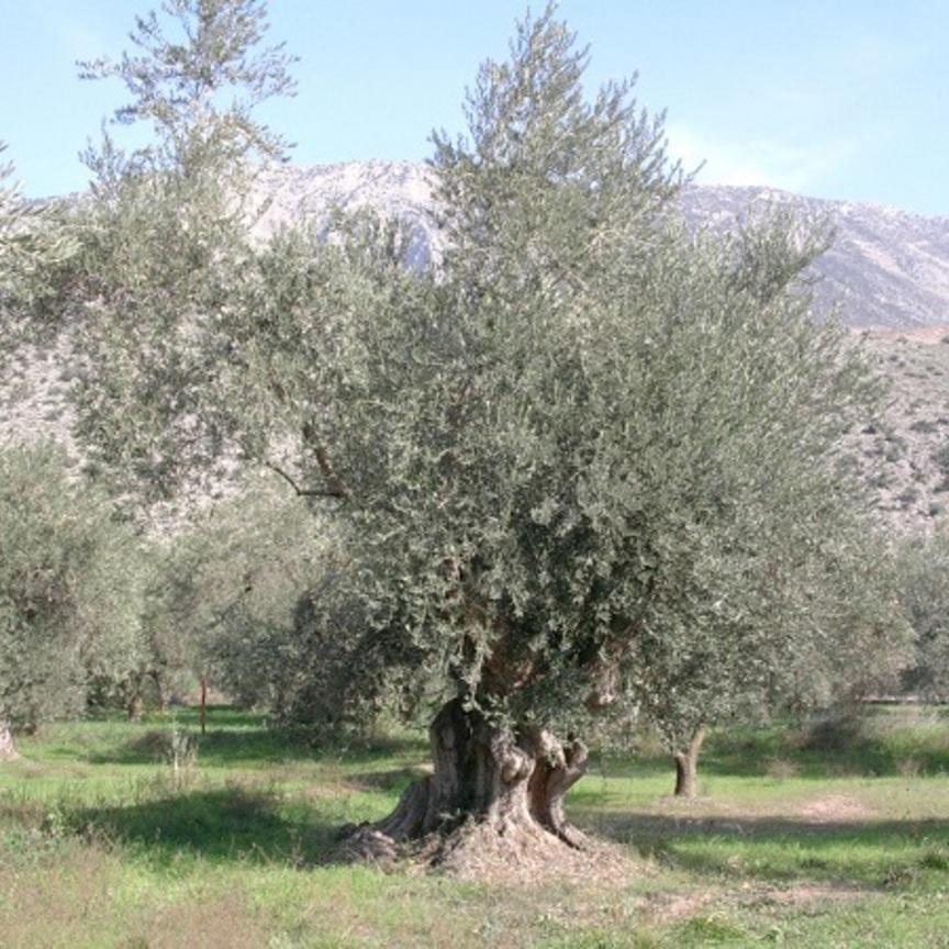 Assitol, campagna complicata per l'olio d'oliva