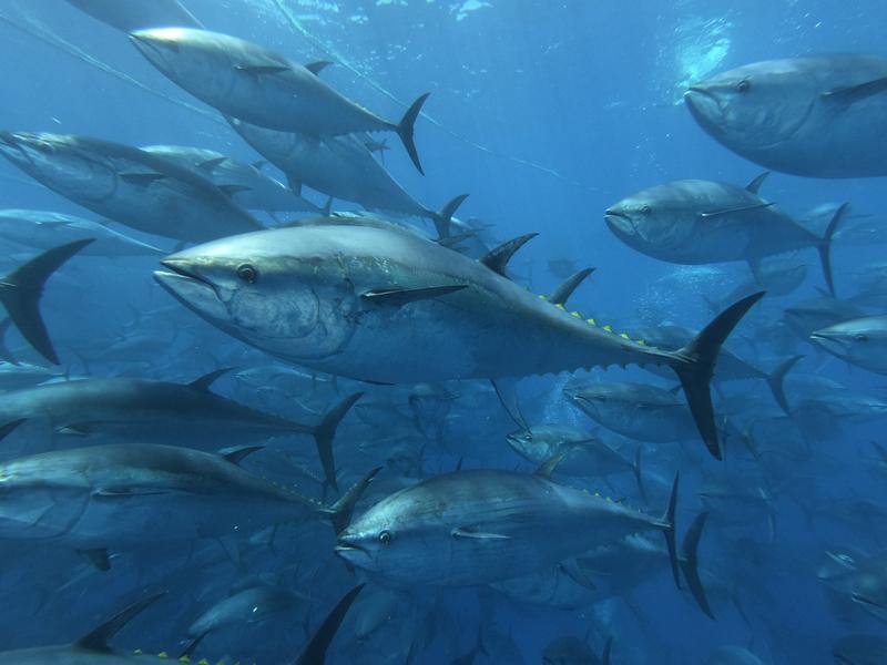 Nel 2020 un nuovo guizzo per il tonno in scatola