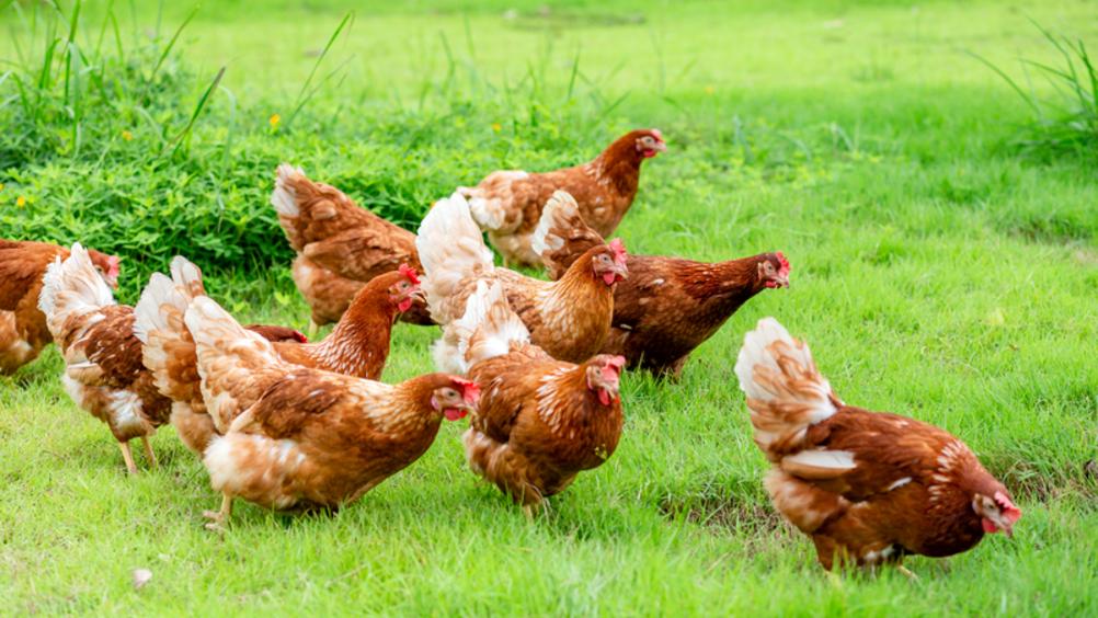 Eurovo investe 40 milioni sull'allevamento all'aperto e biologico