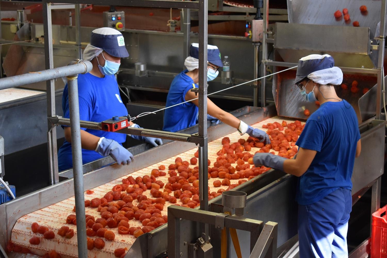 Conserve Italia: al via la campagna del pomodoro