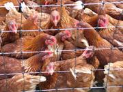 Carni avicole, consumi in caduta libera