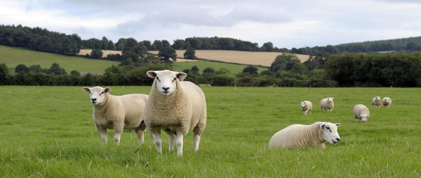 La carne d'agnello irlandese: gusto unico tra allevamento tradizionale e sostenibilità
