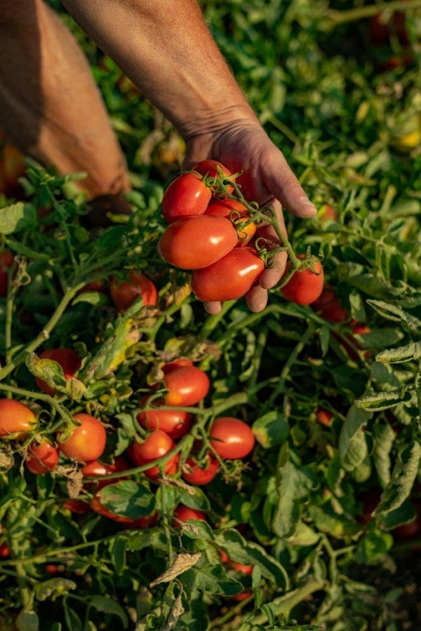 Consorzio Casalasco del Pomodoro: campagna di trasformazione positiva