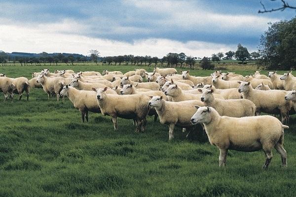 Agnello gallese Igp, il valore aggiunto della sostenibilità