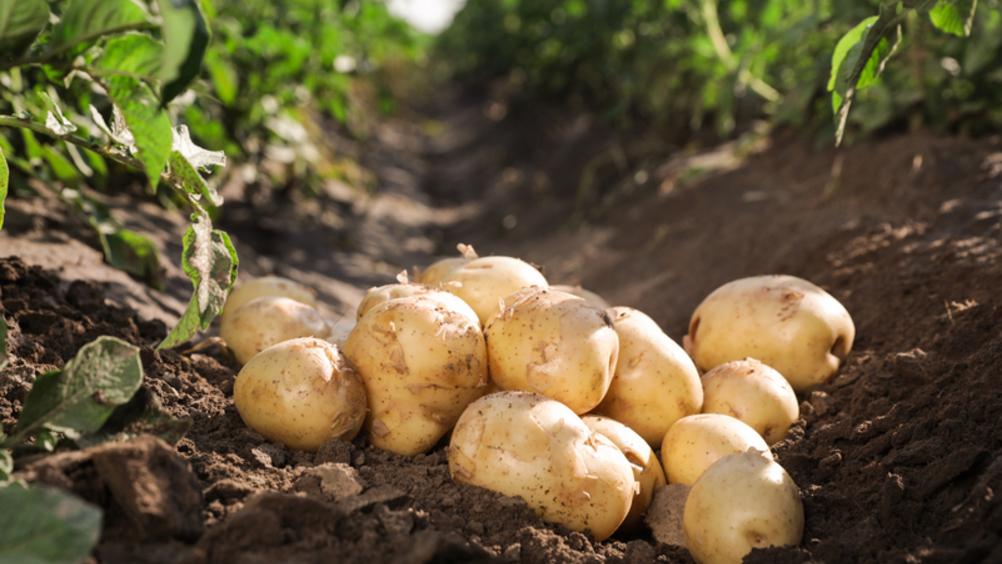 Con 50 milioni di euro nasce il nuovo leader delle patate
